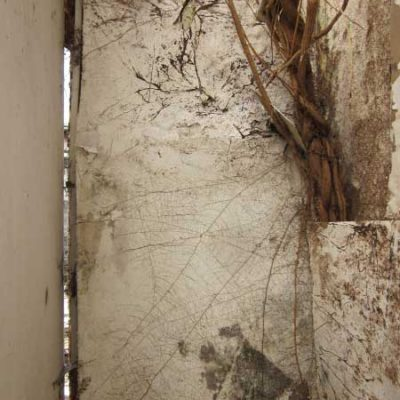 Roots of Buddleia below confused with cellar rot mycelium above
